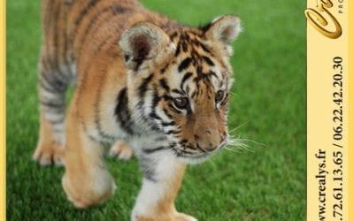 Location tigre vidéos La Chapelle sur Erdre