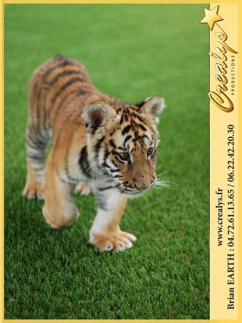 Location tigre vidéos Bouc Bel Air