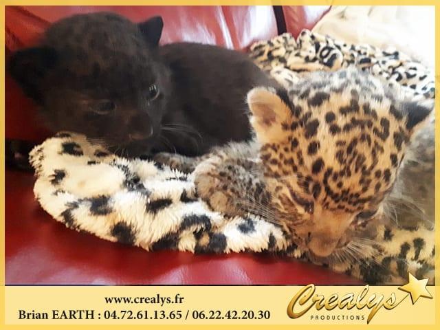 Location léopard vidéos Lattes