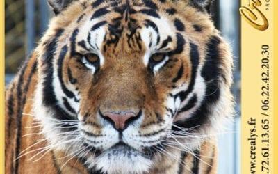 Location tigre vidéos Gex