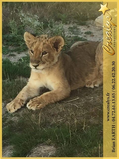 Location lion vidéos Levallois Perret