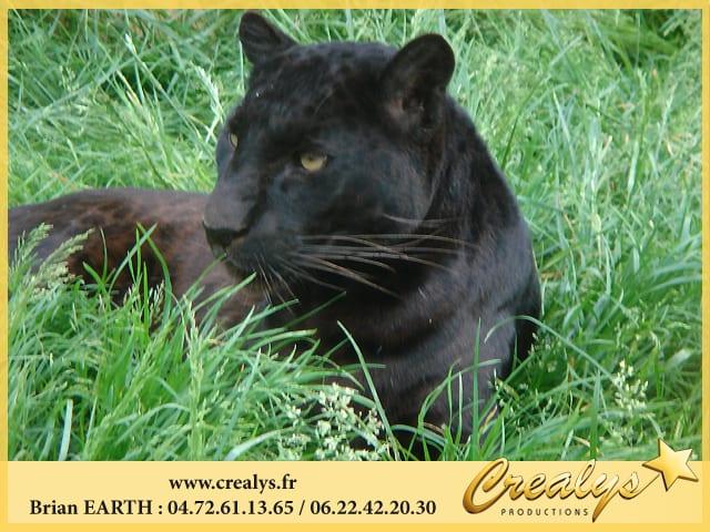 Louer des panthères ou léopards