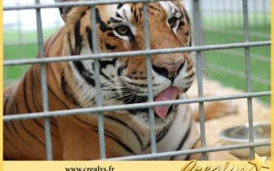 Location tigre vidéos Saint André de Cubzac