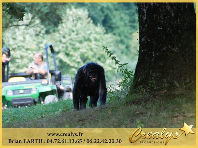 Location Singes Chimpanzés