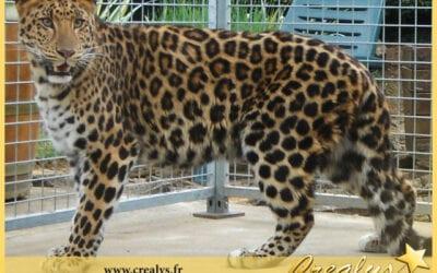 Location léopard vidéos Herblay