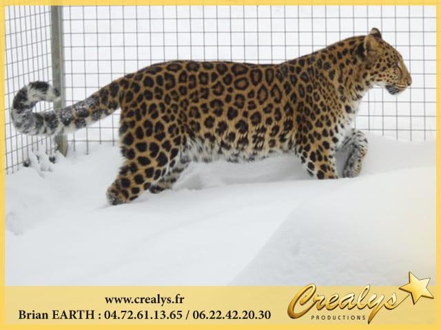 Léopard Panthère Neige