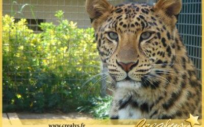 Location léopard vidéos Montbéliard