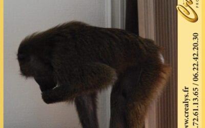 Location singe macaque vidéos Suresnes