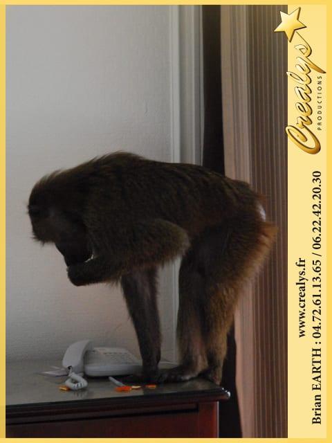 Location singe macaque vidéos Tulle